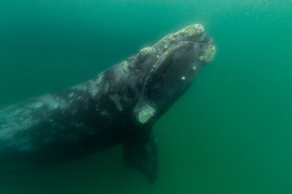 Southern Right Whale -Südlicher Glattwal