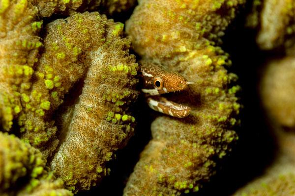 Weissfleckenmuräne Gymnothorax zonipectus