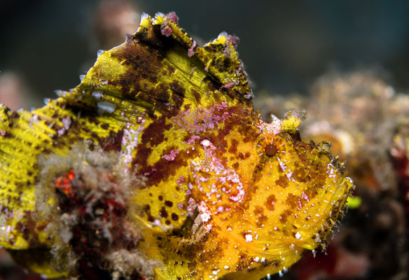 Schaukelfisch Taenianotus triacanthus