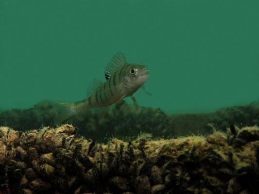 Perca fluviatilis - Egli Flussbarsch