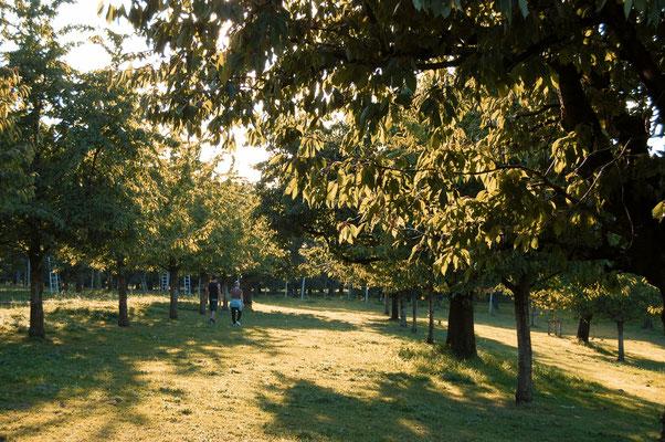 Kirschen Hochstammbäume Diegten Basel-Landschaft