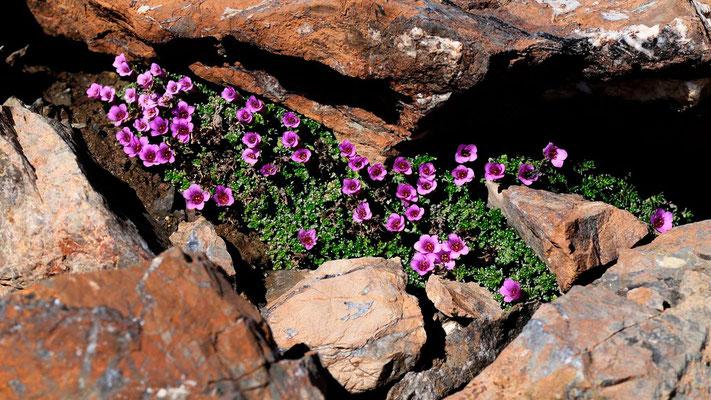 Saxifrage a fleurs opposées