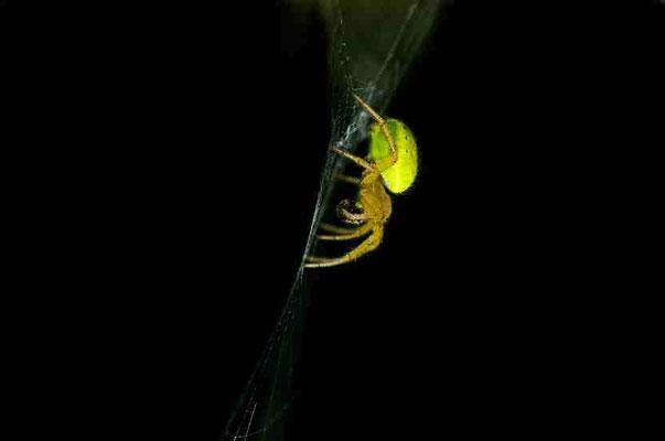 Araignée des Lilas