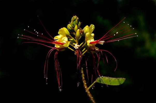 Fleure Tropicale
