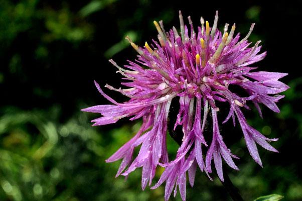 Centauré à une fleur
