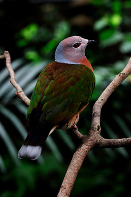 Pigeon Impérial (Nouvelle Guinée )