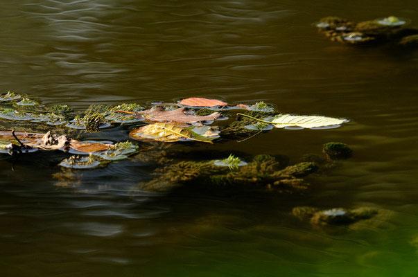 Feuilles sur l'eau