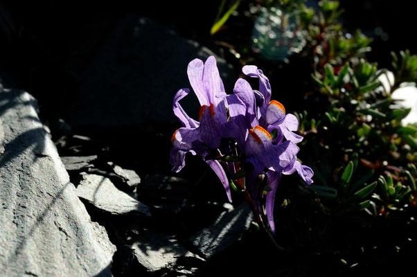Linaire Alpine