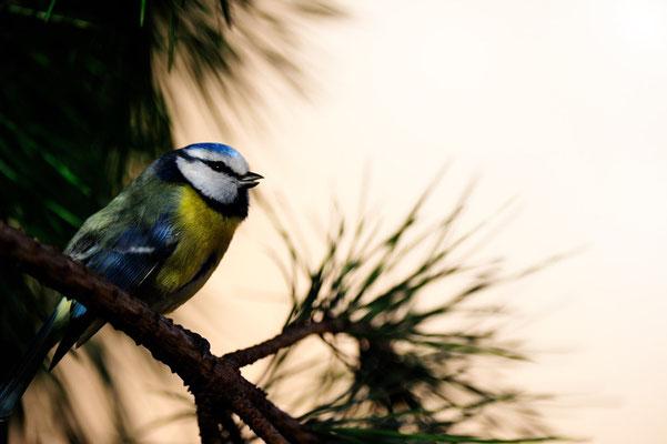Maisange Bleu