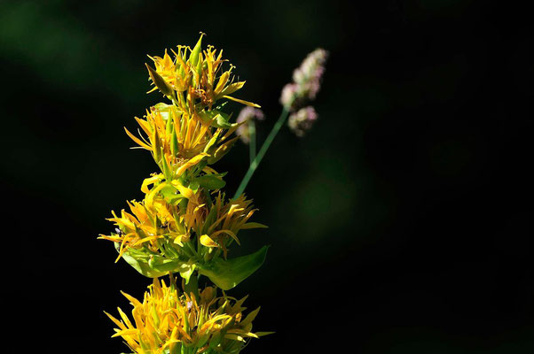 Gentianne jaune