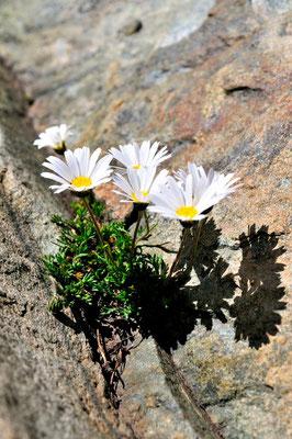 Chrysanthéme des Alpes