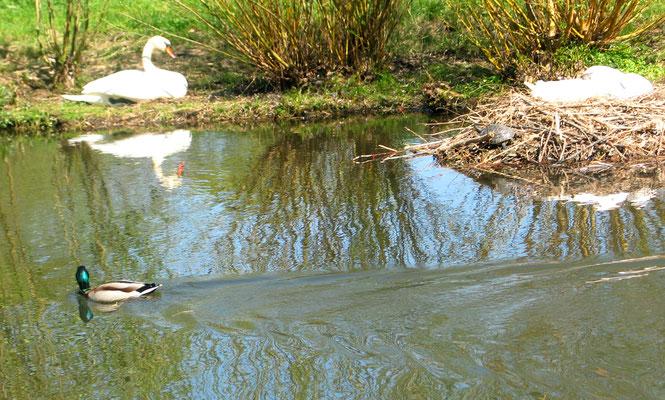 Ein Schwan sitzt am Ufer, der andere Schwan brütet im Nest - eine Schildkröte liegt in der Sonne am Rande des Nestes. Foto: Helga Karl