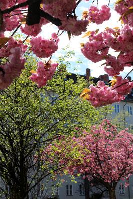 Blühende japanische Kirschbäume in Berlin-Schöneberg. Foto: Helga Karl