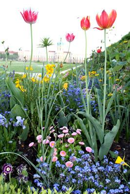 Bunte Frühlingsblumen im Barockgarten Schloss Charlottenburg. Foto: Helga Karl
