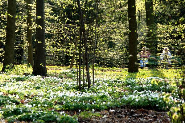 Weiße Blütenpracht der Buschwindröschen, Boskett (Wäldchen) angrenzen an den Barockgarten Schlosspark Charlottenburg. Foto: Helga Karl