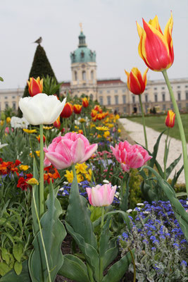 Tulpen im Barockgarten vor dem Schloss Charlottenburg im Frühling. Foto: Helga Karl