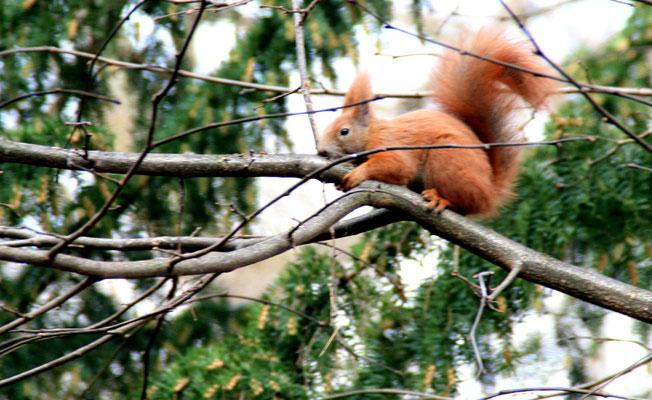 Eichhörnchen läuft über dünne Äste in Bäumen im Schlosspark Charlottenburg. Foto: Helga Karl