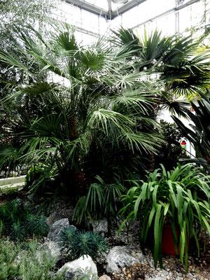 Palmen in den Schaugewächshäusern Botanischer Volkspark Pankow-Blankenfelde. Foto: Helga Karl
