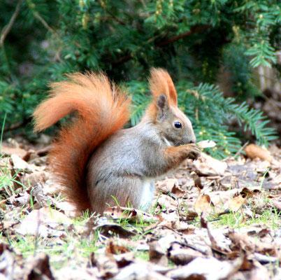 Eichhörnchem am Boden knabbert. Foto: Helga Karl