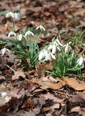 Schneeglöckchen im Wald im Schlossgarten Charlottenburg. Foto: Helga Karl
