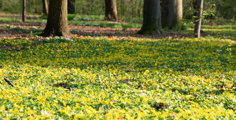 Flirrender Gelb-grüner Blumenteppisch am Waldboden (Boskett). Frühling im Schlossgarten Charlottenburg. Foto: Helga Karl