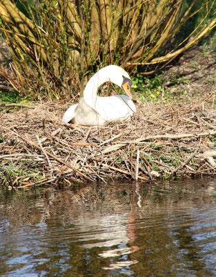 Brütender Schwan im Nest am Wasser im Schlosspark Charlottenburg. Foto: Helga Karl