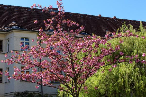 Blühender japanischer Kirschbaum Ceciliengarten Berlin-Schöneberg. Foto: Helga Karl