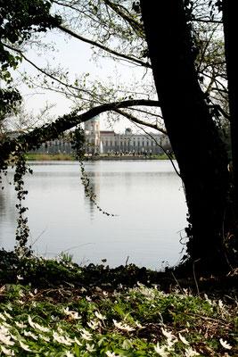 Waldboden voll weißer Buschwindröschen, Blick auf den Karpfenteich und Schloss Charlottenburg. Foto: Helga Karl