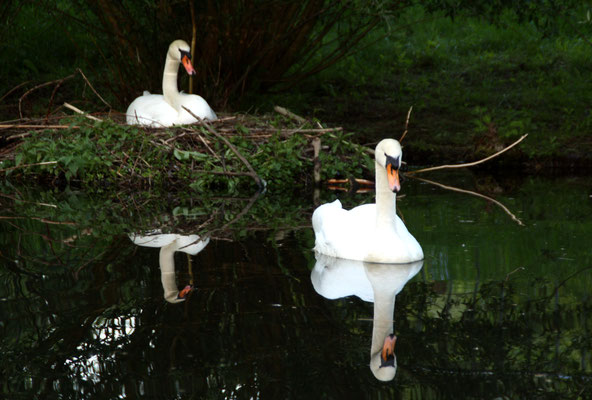 Brütender Schwan und schwimmender Schwan spiegeln sich im Wasser. Frühjahr im Schlossgarten Charlottenburg. Foto: Helga Karl