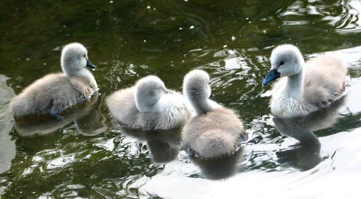 Vier hellgraue Schwanenkinder schwimmen im Wasser. Mai 2007 im Schlosspark Charlottenburg. Foto: Helga Karl