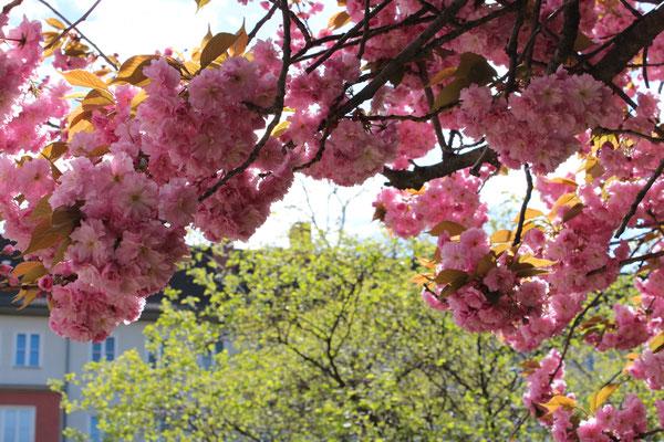 Frühling in Berlin-Schöneberg: helles Grün und Rosa Japanische Kirschblüten. Foto: Helga Karl