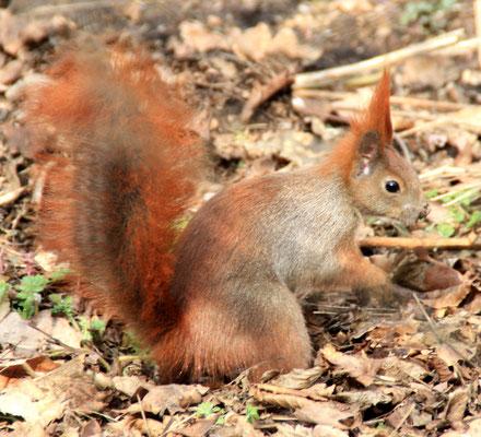 Eichhörnchen am Boden im Schlosspark Charlottenburg. Foto: Helga Karl