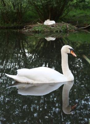 Schwan spiegelt sich im Wasser, im Nest Nähe Ufer zur Luiseninsel brütet die Schwänin. Foto: Helga Karl