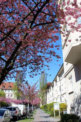 Fassaden mit Erker Wohnanlage Ceciliengärten im April mit blühendem japanischen Kirschbaum. Foto: Helga Karl