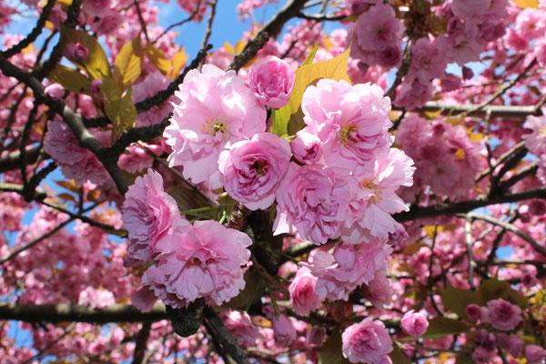 Rosa Blüten - Japanische Kirschblüte in Berlin. Foto: Helga Karl