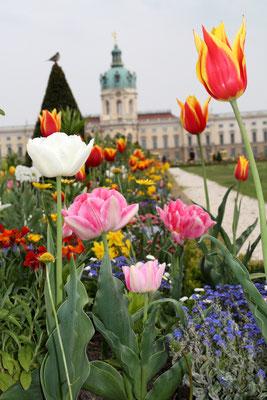 Barockgarten vor dem Schloss Charlottenburg mit Frühlingsbepflanzung. Foto: Helga Karl
