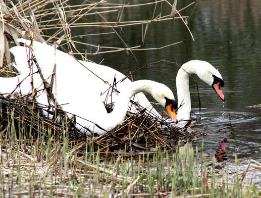 Schwanenpaar am Ufer des Karpfenteichs Schlosspark Charlottenburg im April. Foto: Helga Karl