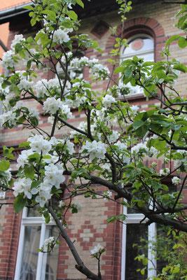 Baumblüte vor dem Grass-Haus in der Niedstrasse 13 in Friedenau. Foto: Helga Karl