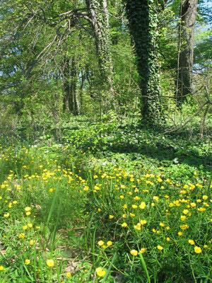 Boden zwischen Bäumen überwuchert von gelben Blüten und Efeu. Frühling im Schlosspark Charlottenburg. Foto: Helga Karl