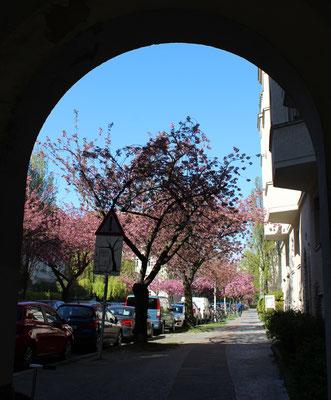Torbogen des Atelierturm, Eingang zur Gartenstadt Ceciliengärten mit blühenden Kirschbäumen. Foto: Helga Karl
