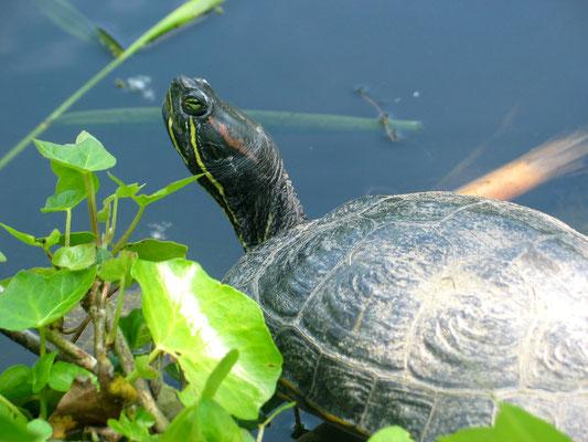 Eine Schildkröte am Rand des Wassers im Schlosspark Charlottenburg. Foto: Helga Karl