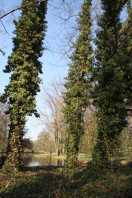 Efeuumrankte Bäume am Ufer der Luiseninsel im Schlosspark Charlottenburg. Foto: Helga Karl