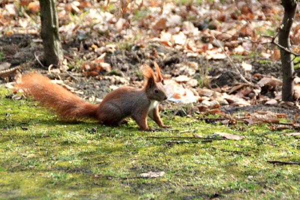 Eichhörnchen läuft auf dem Waldboden im Frühjahr im Schlosspark Charlottenburg.Foto: Helga Karl