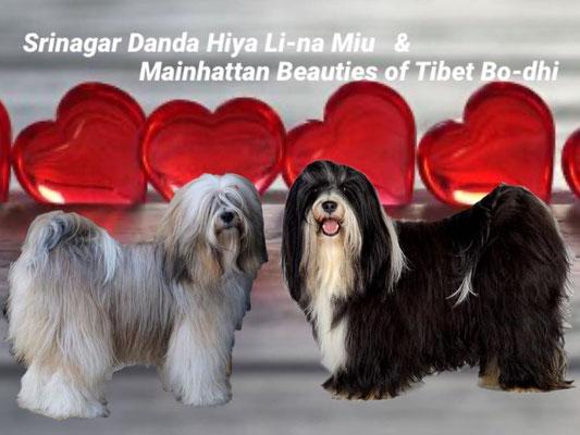 Arundhati Tibet Terrier - A-Wurf