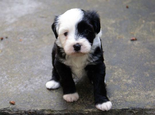 G-Wurf - Rüde 1 - 5 Wochen alt