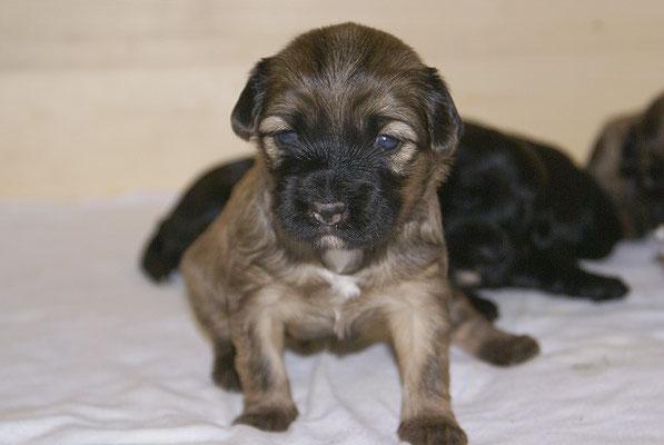 G-Wurf - Hündin 1 - knapp 3 Wochen alt