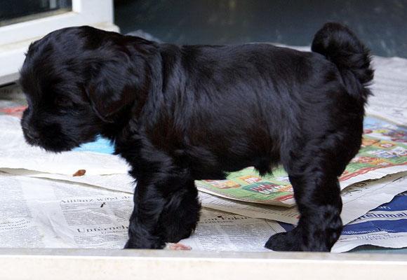 G-Wurf - Hündin 3 - 5 Wochen alt