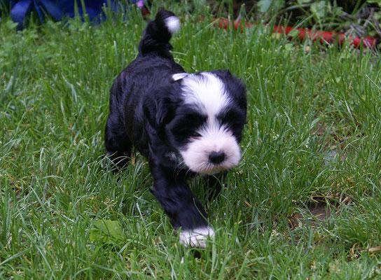 G-Wurf - Rüde 2 - Mihu - 6 Wochen alt