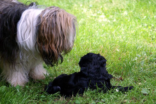 G-Wurf - Ga-la - 7 Wochen alt - im Garten mit Oma Milka