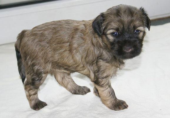 G-Wurf - Hündin 2 - 4 Wochen alt